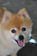 Pomeranian Stock photo [1660314] Pomeranian