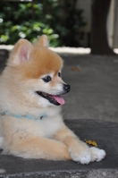 Pomeranian Stock photo [1660316] Pomeranian