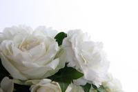 White Rose Stock photo [1660321] Rose