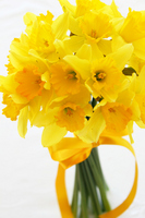 Daffodil Bouquet Stock photo [1830677] Narcissus