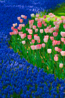 Tulips and Muscari Stock photo [1831834] Tulip