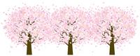 Cherry tree roadside trees Cherry