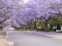 Road of Jacaranda Stock photo [1833752] Jacaranda