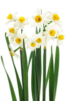 Narcissus Stock photo [1836429] Narcissus
