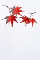 Maples Stock photo [1940395] Maples