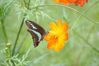 Butterfly sucking nectar of cosmos Stock photo [1940646] Cosmos