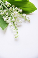 Lily of the valley of flowers and leaves Stock photo [1943094] Lily