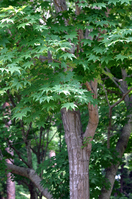 Halos maple Stock photo [1943723] Aceraceae