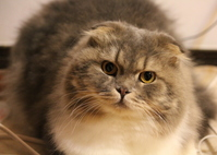 Scottish Fold Stock photo [1944274] CAT