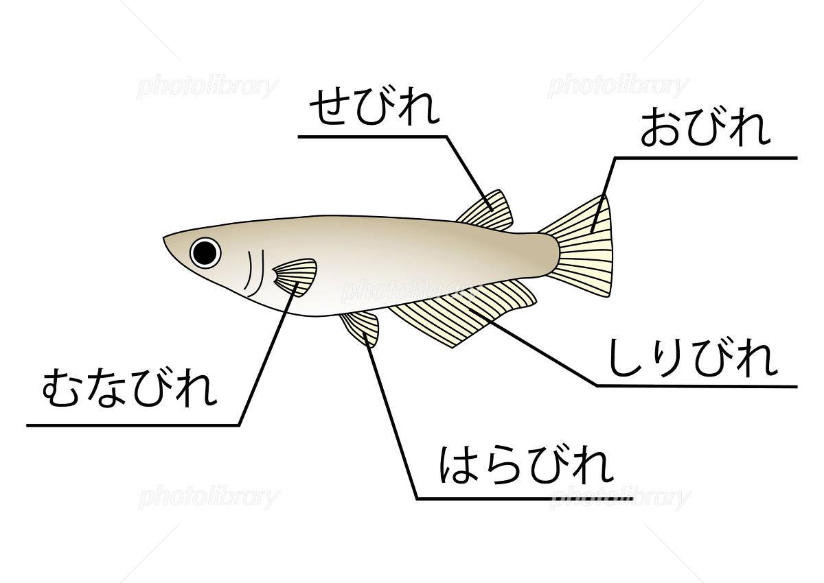 メダカ ヒレ イラスト素材 [ 204...