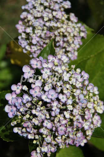 渦紫陽花の写真素材