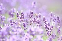 Fields of lavender Stock photo [2045027] Lavender