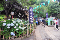 Bunkyo Hydrangea Festival of Hakusan Shrine Stock photo [2047527] Hakusan