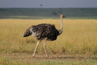 In the wild ostrich female African grassland stock photo