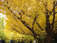 Ginkgo trees Stock photo [57922] Ginkgo
