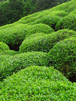 Pesticide-free private tea fields such as garden Stock photo [58171] Tea