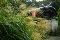 Japanese pampas grass Stock photo [59414] Kamakura