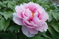 Peony Stock photo [60457] Flower