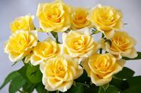 Yellow rose of varieties that Madeleine Stock photo [2152514] Rose