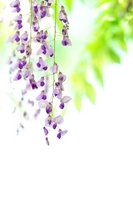 The wisteria flowers Stock photo [2271490] The