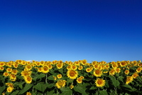 Sunflower field Stock photo [2273531] Sunflower