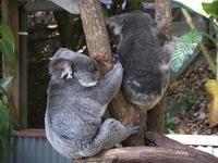 コアラ2匹