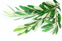 Olive leaf Stock photo [2278275] Olive