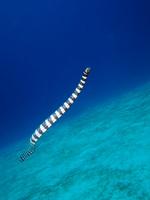 sea snake swim Stock photo [2280434] Sea