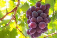 Grapes (Pione) Stock photo [2281150] Grapes