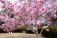 Tree of Magnolia stellata that bloom Stock photo [2400080] Fist