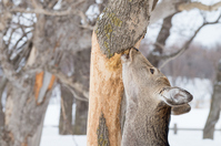 Sika deer that eat the bark of the tree Stock photo [2400344] Ezojika