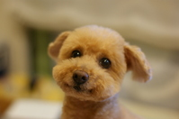 Toy poodle Stock photo [2402757] Toy