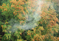 Cedar pollen Stock photo [2404154] Cedar