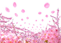 Cherry Blossom Stock photo [2412495] Cherry