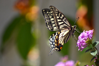 Swallowtail Butterfly Stock photo [2514079] Swallowtail