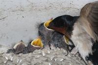 Parent-child swallows Stock photo [2515717] Swallow