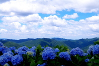 高野山のあじさい