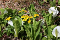 Skunk cabbage and yellow flower Stock photo [2517964] Water