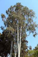 Tree of eucalyptus Stock photo [2519826] Eucalyptus