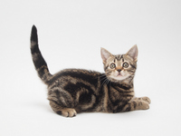Kitten to raise the tail Stock photo [2523356] American