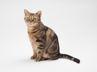 American Shorthair to Sitting Stock photo [2523365] American