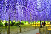The wisteria flowers Stock photo [2523967] Okazaki