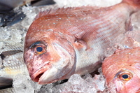 Red Snapper Stock photo [2523991] Red