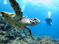 Sea turtles and diver Stock photo [2524240] Sea
