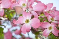 Dogwood Stock photo [2525156] Dogwood