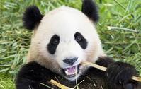 Panda Stock photo [2525321] Panda