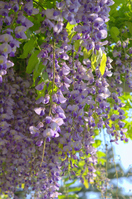 The wisteria flowers Stock photo [2525883] Flower