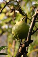 Bergamot Stock photo [2526265] Rutaceae