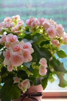 Begonia potted Stock photo [2527389] Flower