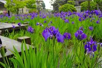 Iris in the rain Stock photo [2527649] Rabbitear